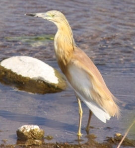 Squacco heron, which the French call a crab-eater