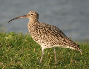 Curlew, Texel, Holland