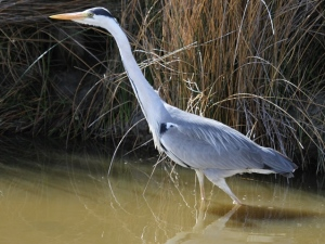 Grey heron in the Camargue