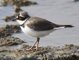 Little ringed plover in spring plumage