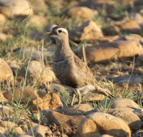 Dotterel at La Cau, August 2013