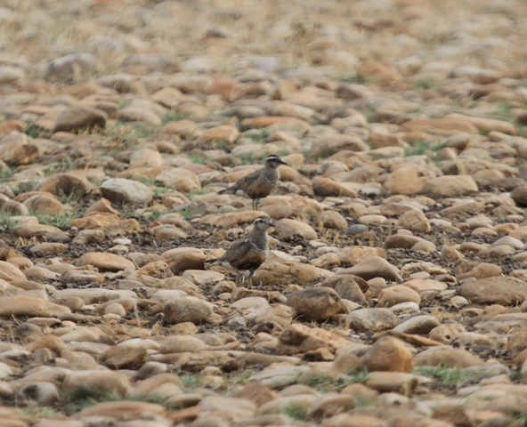 Dotterels on stony ground