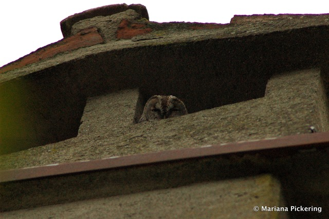 One of the two Tawny owls roosting at the house - Guido il Gufo!