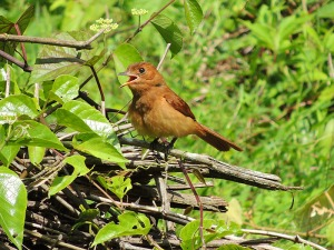 Rufous mourner, another that I have to be on the look-out for!