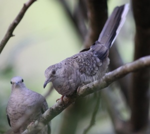 A Costa Rican Inca dove pair, courtesy of Karel Straatman