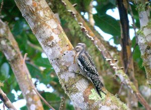An immature Yellow-bellied sapsucker in Costa Rica, courtesy of Richard Garrigues