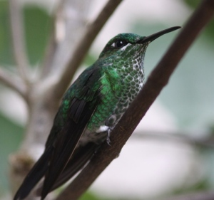 Female Green-crowned brilliant; note the short malar stripe