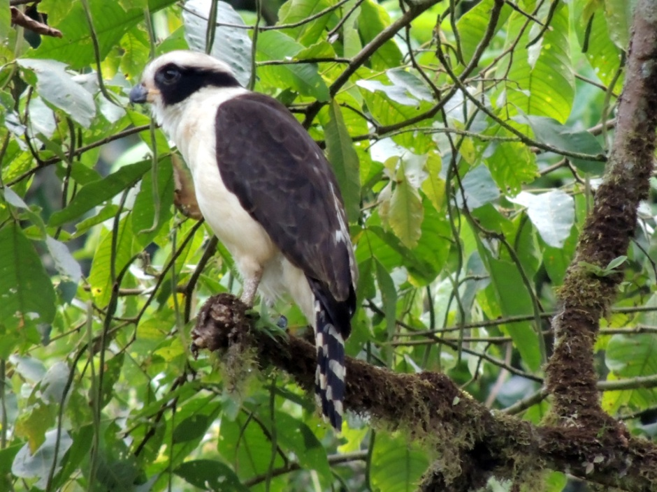 Laughing falcon, in Spanish guaco, because of its 'laugh'
