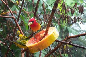 Male Red-headed barbet with accompanying Silver-throated tanagers