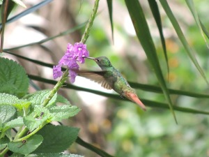 The Rufous-tailed is the most likely species if you have just arrived in Costa Rica