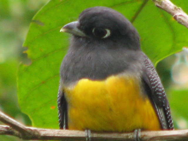 Our commonest trogon, the Violaceous, now Gartered trogon.