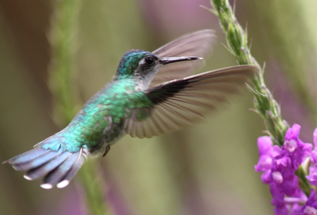 Violet-headed hummingbird, female