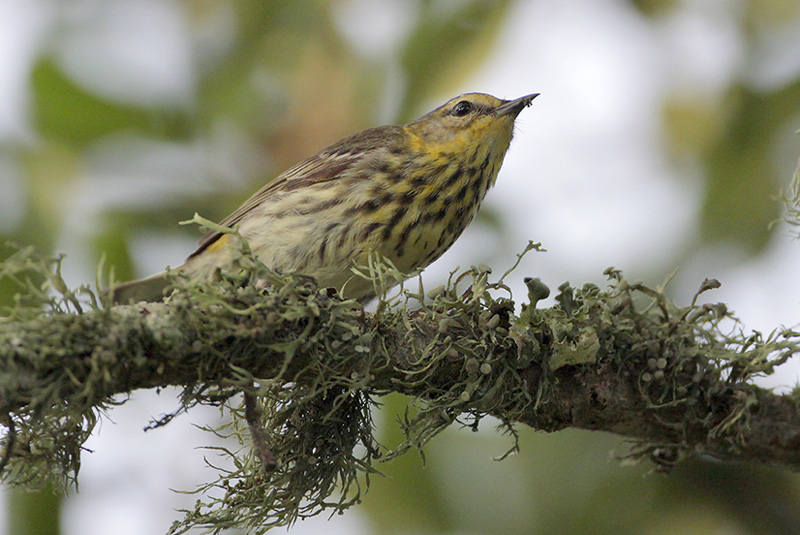 A drab first-winter Cape May warbler