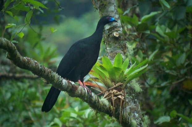 Black Guan: Its blue bill is a striking feature.