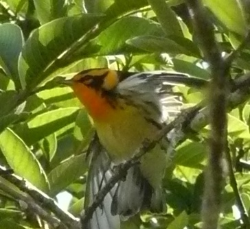 Male Blackburnian warbler in San Antonio