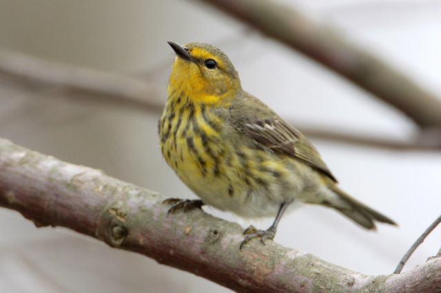Cape May warbler, courtesy of Greg Lavaty