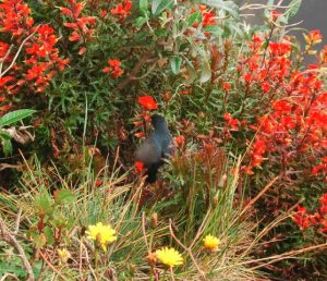 Male Slaty flowerpiercer at Irazù Volcano