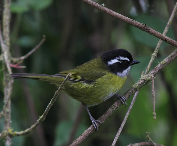 The jagged white line above and behind the eye readily identifies the Sooty-capped bush-tanager