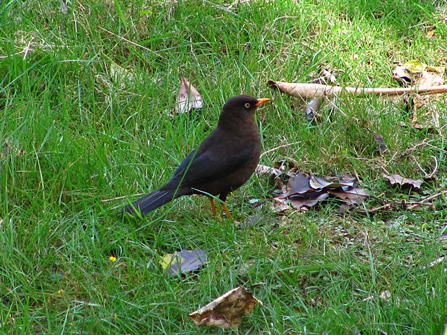 The escarchado (Sooty thrush, formerly Sooty robin)