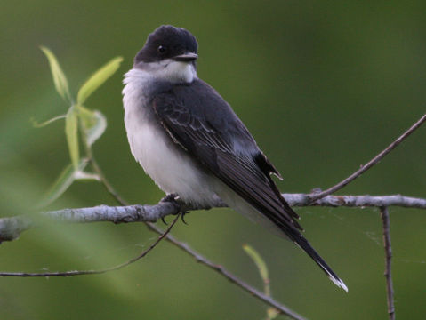 Eastern kingbird, courtesy of Wikipedia Commons