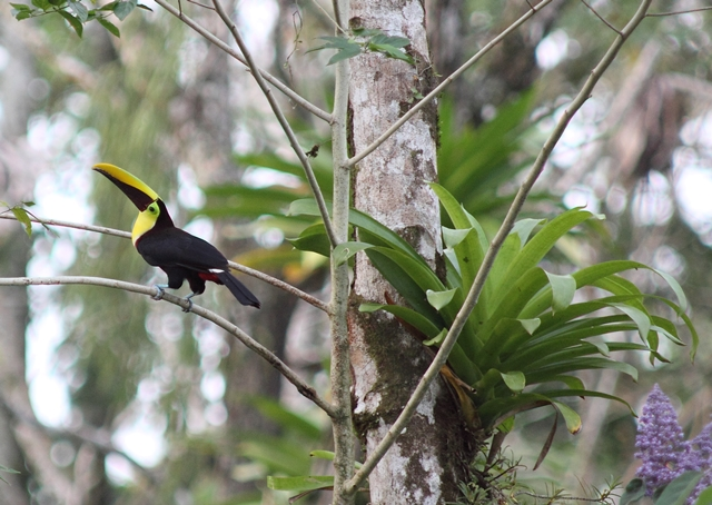 Our largest Costa Rican toucan, the Chestnut-mandibled
