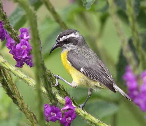 Not quite a warbler.  Here the Bananaquit prepares to extract nectar from the rabo de gato