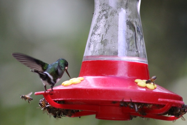 Female Green thorntail at  feeder