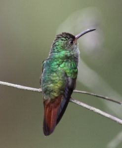 Female Rufous-tailed hummingbird, courtesy of Karel Straatman