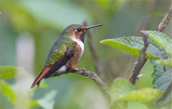 Male Scintillant Hummingbird, courtesy of Karel Straatman