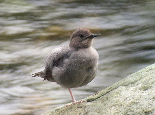 American Dipper, courtesy of Richard Garrigues