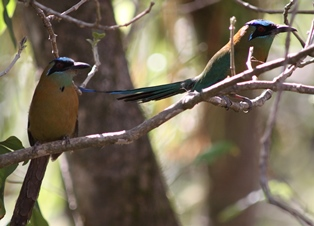A pair of Blue-crowned motmots