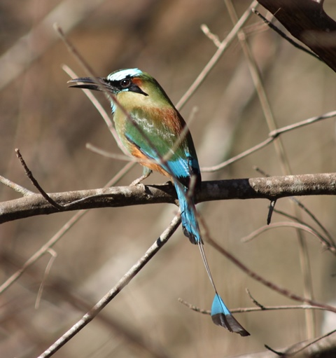 Turquoise-browed motmot (the guardabarrancos) in its dry-forest habitat.