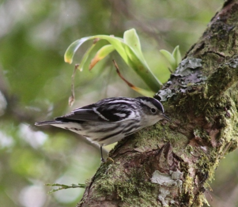 The Black-and-white warbler often prefers sturdier trunks and branches
