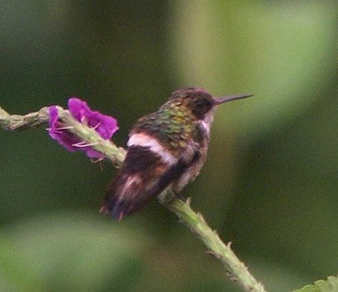 Female Black-crested coquette, rear view only