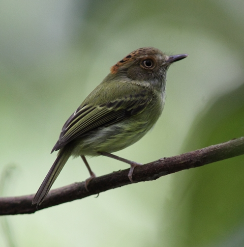 My latest life bird, the cute little Scale-crested Pygmy-tyrant, photo by Karel Straatman