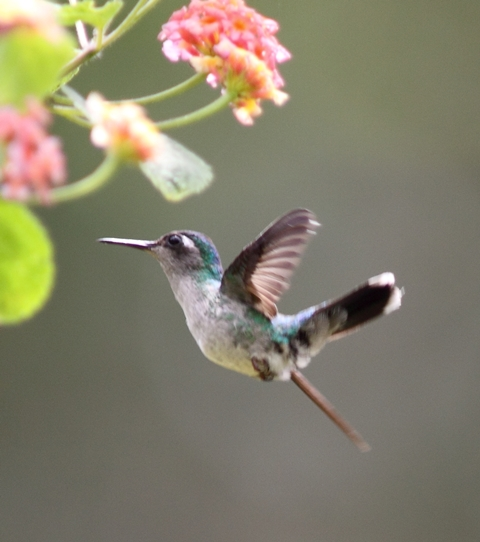 Here's a Violet-headed hummingbird female from Karel Straatman's files