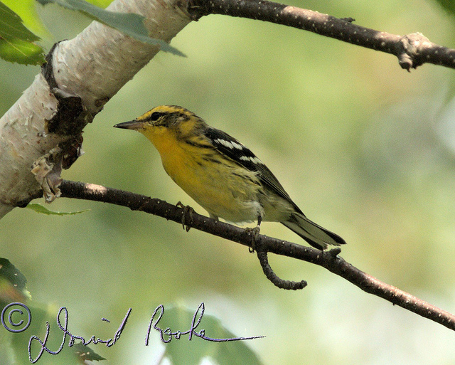 Today's Blackburnian warbler looks like this