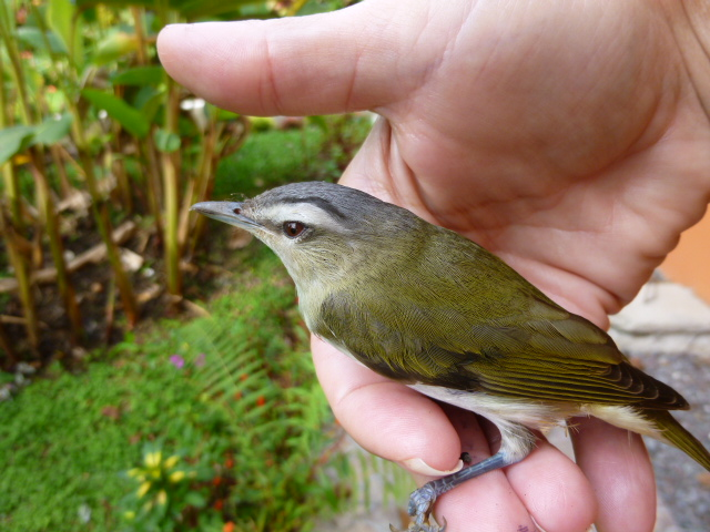 Red-eyed vireo in the hand