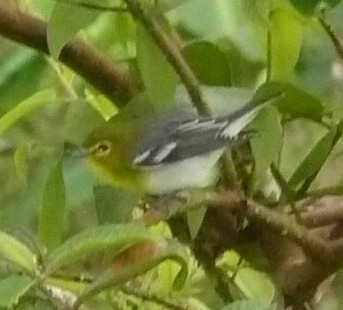 Yellow-throated vireo, an easy id with its specs and wing-bars