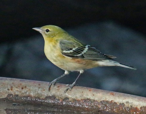 Today's Bay-breasted warbler looked like this