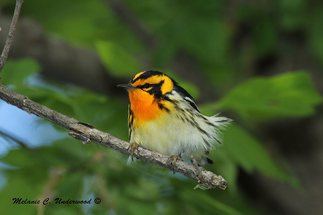 And the Blackburnian warbler was even more beautiful