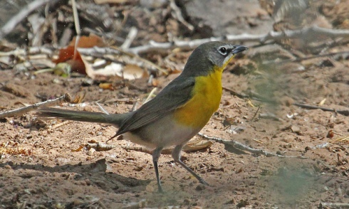 Yellow-breasted chat was a life bird for me today