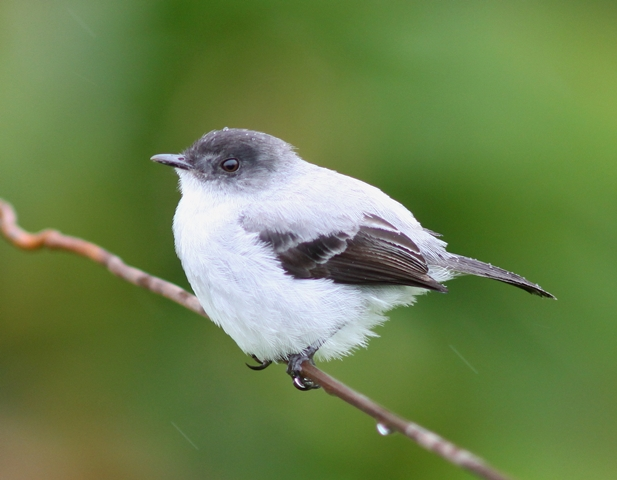 Torrent tyrannulet sitting on a wire