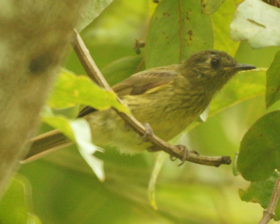 Olive-striped flycatcher with post-ocular spot and breast streaks well in evidence