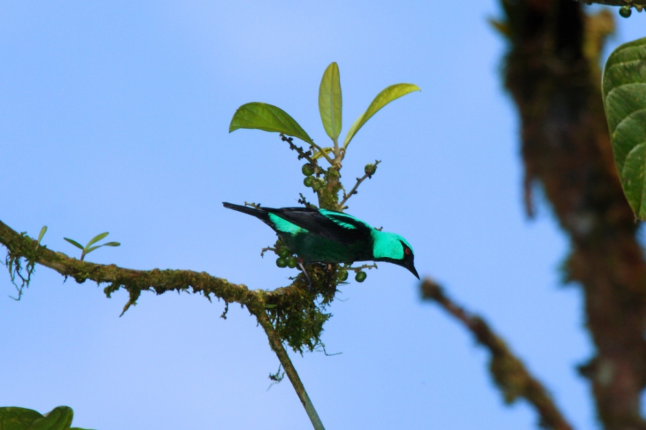 Male Scarlet-thighed Dacnis in El Valle, Panama, courtesy of Dominic Sherony and flickr's Creative Commons