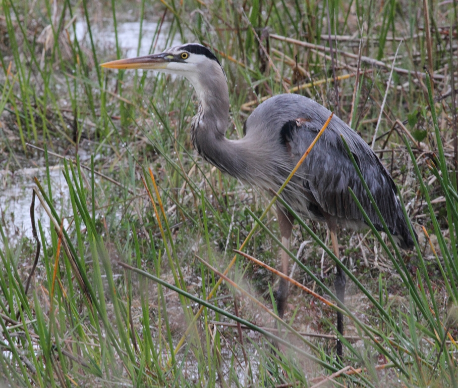 Great Blue Heron, courtesy of Karel Straatman