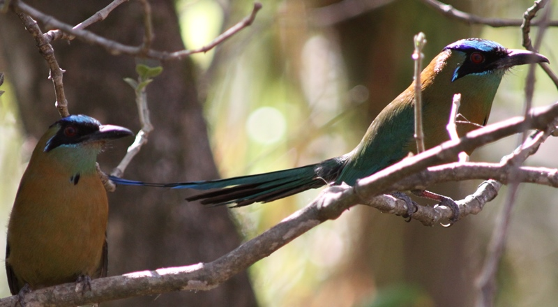 Blue-crowned motmot (3)