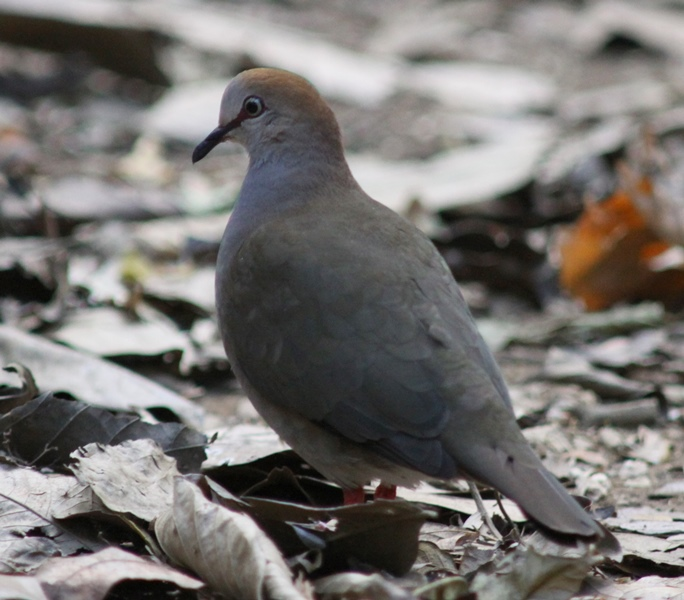 Gray-chested dove, courtesy of Karel Straatman