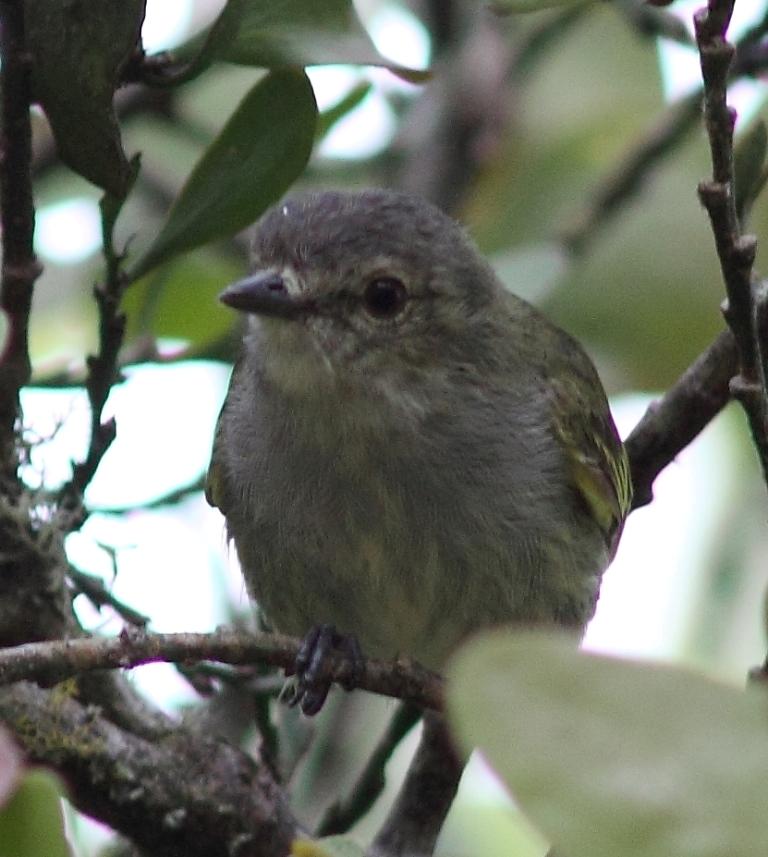 Paltry Tyrannulet, formerly Mistletoe Tyrannulet