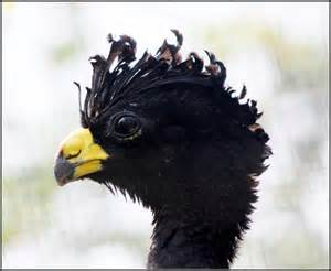 http://upload.wikimedia.org/wikipedia/commons/b/ba/Great_Curassow_%286961685388%29.jpg